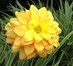 Dahlia (auntiepauline) Tags: dahlia fleursetnature excellentsflowers