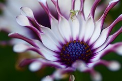 Purple Flower (Bucky O'Hare) Tags: blue plant flower macro art nature closeup petals close purple artistic african 100mm tokina stamen daisy 1001nights africandaisy osteospermum lilacspoon