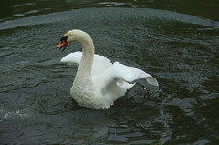 Swan (Plbmak) Tags: water river swan young fluffy lynn swans kings chicks cygnets brood kingslynn reffley mygearandmepremium mygearandmebronze mygearandmesilver mygearandmegold mygearandmeplatinum mygearandmediamond