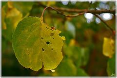 (seyed mostafa zamani) Tags: autumn tree beautiful yellow canon death leaf nice iran dreams iranian            450d