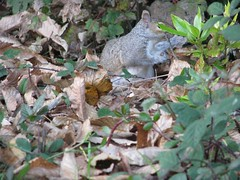 Camouflaged squirrel (AlidaSerious) Tags: leaves squirrel scoiattolo naturalmente