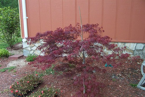 dwarf japanese maple tree pictures. Dwarf Japanese maple
