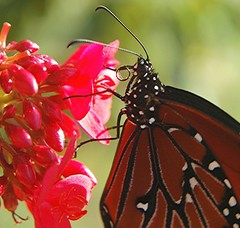 Monarch Butterfly on Spicy Jatropha retracts and curls its proboscis after sipping nectar (jungle mama) Tags: red flower butterfly miami monarch tropical nectar pollen shrub sipping chrysalis pupa mothernature cocoon proboscis sip monarchbutterfly spicyjatropha naturesfinest nymphalidae commonmilkweed danausplexippus jatropha jatrophaintegerrima danainae coth milkweedbutterfly supershot queenbutterfly coralplant milkweedbutterflies jatrophapandurata viceroybutterfly platinumphoto diamondclassphotographer flickrdiamond nautresfinest goldstaraward rubyphotographer floridaviceroy limenitisarchippusfloridensis 100commentgroup vosplusbellesphotos beautifulmonsters dragondaggeraward danausgilippusberenice concordinas newgoldenseal shinyredflower butterflysipping lifecyclemonarchbutterfly howbutterflieseat viceroybutterflyprefersmoistareas