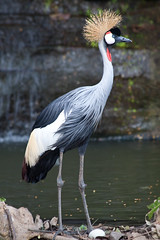 Grey Crowned Crane (Peter Nijenhuis) Tags: bali indonesia 500d greycrownedcrane balearicaregulorum ef70300mmf456isusm tamanburungbalibirdpark peternijenhuis