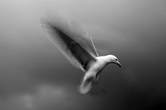 Anxious (michaelwr) Tags: motion seagull gull alkibeach handheld icm cloudysky hovering intenselook danglingfeet 1only featherseverywhere butnorain immoving intentionalcameramovement canoneos5dmarkii michaelrollins waitingtocatchpopcorn onegull hesmoving wingsflappingfuriously just1thistime lieahelicopter thecameraismoving wherehilaryandishot butthisisnotthesameday