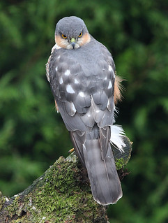 MALE SPARROWHAWK ....New kid on the block....This one came into the garden yesterday four times, and each time he did the older male chased him off, but he came back again in late afternoon and stayed for a good ten min preening and stretching...