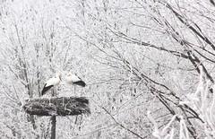 The early bird catches....a cold (**MIKA**) Tags: storch störche stork nest winter rauhreif schnee bayern zugvogel standvogel ciconiidae weisstorch ciconiaciconia cigüeña cigogne migration flyway