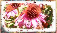 Sunburst (PaulO Classic. ©) Tags: echinacea sony picmonkey spe smartphotoeditor textures