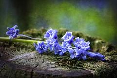 Scottish Bluebells (Stuart Stevenson) Tags: blue flower texture canon woodland scotland moss post canon300d scottish stuart lichen bluebell earlysummer latespring countyside stuartstevenson stuartstevenson