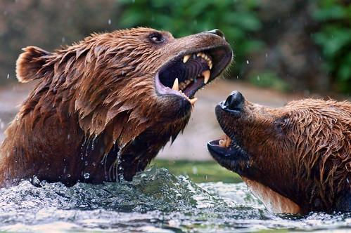 フリー画像| 動物写真| 哺乳類| 熊/クマ| 威嚇|       フリー素材|
