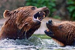 [フリー画像] [動物写真] [哺乳類] [熊/クマ] [威嚇]       [フリー素材]