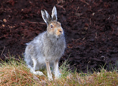 Mountain Hare (Blue Hare) changing to summer coat - May 2009. (Chris Sharratt) Tags: scottishhighlands mountainhare lepustimidus bluehare may2009 changingtosummercoat chrissharratt