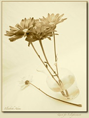 Quest for Enlightenment (elisabeth adams) Tags: flowers stilllife floral fleur sepia four florida gerbera vase floralart life