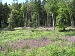 Fingerhut (karsten13) Tags: feldberg 13062009