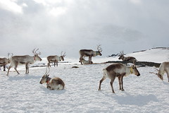 Reindeer safari (Medhusguten) Tags: winter snow nature norway reindeer design darkness wildlife magic glacier experience activity snowshoes iceclimbing kristiansen icefishing geilo kurs galcier skred lavine hallingskarvet medhus truger bjørnsen