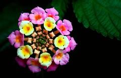 Lantana (Noisy Paradise) Tags: pink flower japan tokyo sigma explore lantana foveon closeuplens dp2 platinumheartaward aml1 sigmadp2 noisyparadise