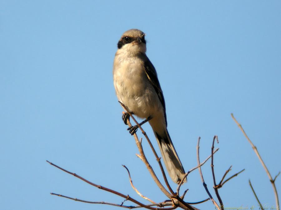 Loggerhead Shrike07091-6