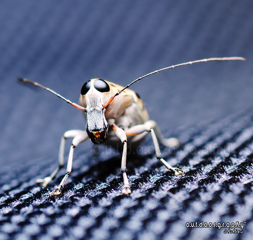 Cute Weevil Portraiture :P (by Sir Mart Outdoorgraphy™)