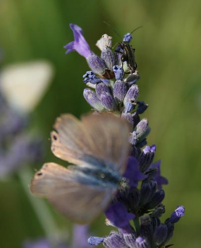 papillons 042