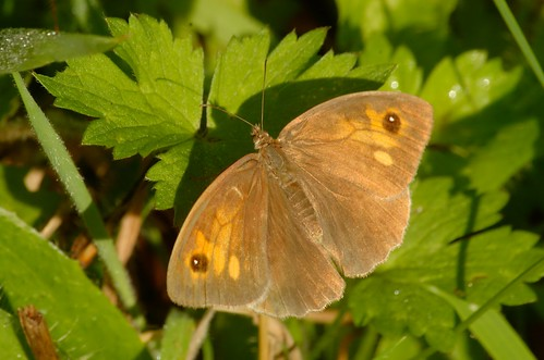 Maniola jurtina | Bruin zandoogje (vrouwtje) - Meadow brown (female)