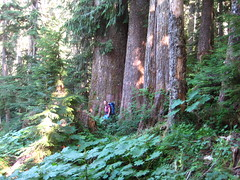 Stefan checking out the big cedars near the beginning of the trail