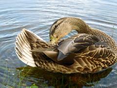 Wild Duck Grooming (#799) (protophotogsl) Tags: canada reflection closeup duck qubec wildduck naturesfinest gatineauhills laclapche specanimal freenature spectularanimals wildlifeaward protophotogsl