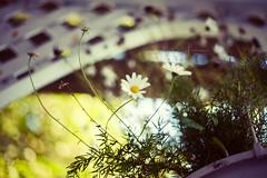 Whispers of Immortality (amber {in the shadow of za'ha'dum}) Tags: california flowers northerncalifornia bokeh daisy canon5d mendocino bb 2009 tseliot 50mmf18 bokehlicious natureycrap bokehwednesdayeve michelleblacksvintagemodxp julypreset whitegateinn daisery ambergregorypresets whispersofimmortality