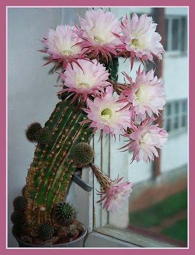 Vana kaktus aastal 2004