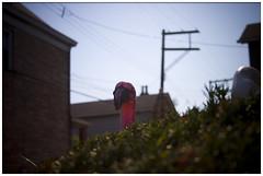 flamingo, braddock (macwagen) Tags: pink bird yard pittsburgh peekaboo flamingo plastic pa bushes braddock