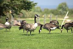 Canadian Geese (Nilo Manalo) Tags: geese canadian lakewinnipeg heclaoasisresort radissionhotel