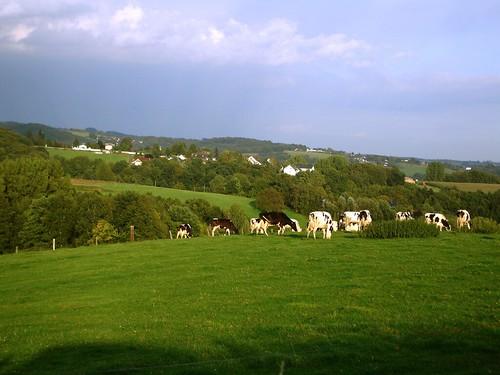 Cows near Koln