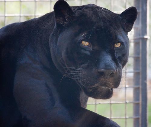 Black Jaguar Growl: Flickriver: San Diego Shooter's Photos Tagged With Jaguar