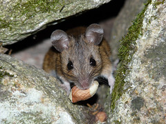 A real mouthful (Clare L H) Tags: wild nature animal mouse mammal scotland wildlife woodmouse platinumphoto theunforgettablepictures mygearandme