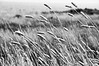 i like grass (nosha) Tags: california ca summer bw usa nature beautiful beauty grass landscape dof august organic f11 2009 ano nuevo anonuevo lightroom 105mm blackmagic nosha 18200mmf3556 1500sec natureycrap nikond300 summer2009 1500secatf11 californiaoregon2009
