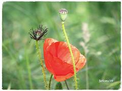 Sepúlveda (Segovia) Amapola-2 (ferlomu) Tags: segovia ferlomu sepulveda flor amapola flower