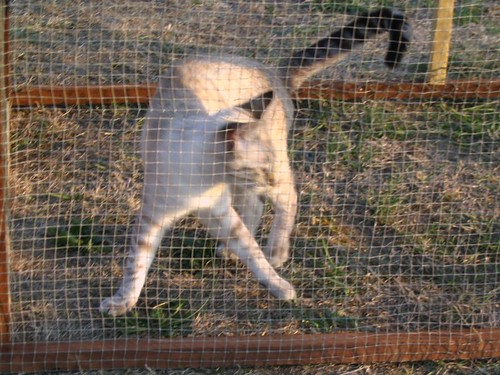 Dancing Kitteh in the cage