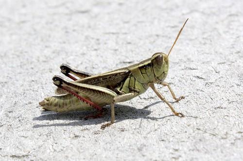 Grasshopper poop - photo#23