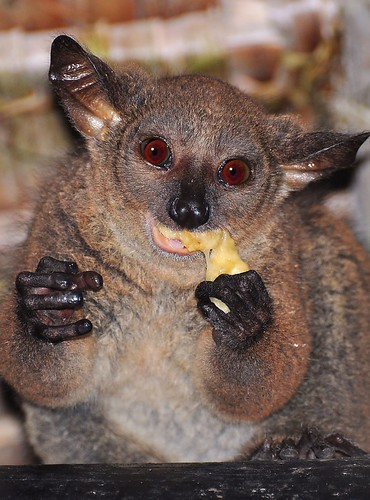 bush babies eating. Bushbaby eating banana in what