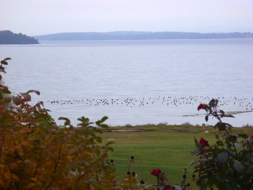 migrating geese on Lake Champlain at Westport