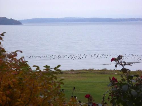 migrating geese on Lake Champlain at Westport