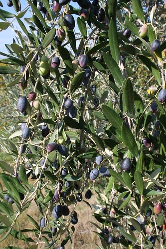 Olives 2009 013