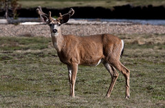 Yosemite resident (montpelier) Tags: california deer yosemitevalley tuolumnemeadows