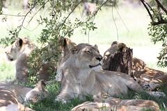 Lions (Derek Keats) Tags: lionpark
