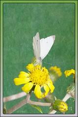 blanca de la col (susodediego ) Tags: macro primavera nature spring natureza papillon borboleta falter mariposa printemps farfalla frhling pierisbrassicae nikond300 blancadelacol mariposablanca