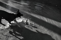 (Maya DiteS) Tags: blackandwhite dogs water puddle outside lights shadows splash hiccup miramonte personalfavorites