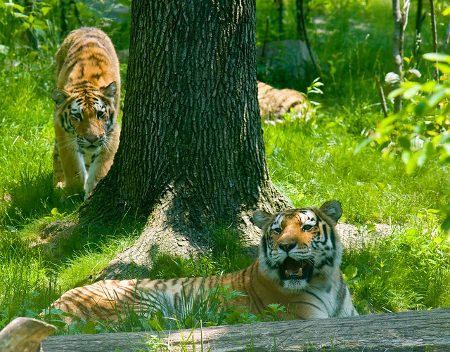 Tiger cubs, Bronx Zoo