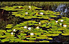 Les nnuphars (Excalibur67) Tags: flowers nature water fleurs nikon alsace reflexion reflets eaux d90 tangs nnuphars vosgesdunord