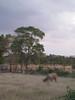 IMG_1479 (Tehhen) Tags: animals cows dominicanrepublic repúblicadominicana clavellina dajabón