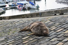 Tired out (Nanny Bean) Tags: seal scarboroughharbour