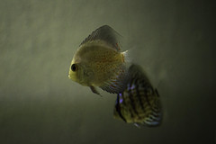 DSC_0607 (Bibi Bonnet) Tags: fish discus disco pezdisco acuario pez water aguadulce aguacalida animal